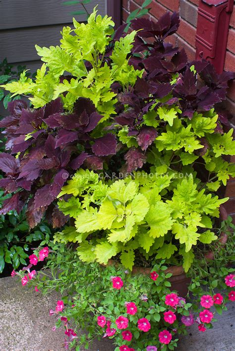 Coleus And Calibrachoa In Clay Terracotta Pot Plant Container Flower Gardens