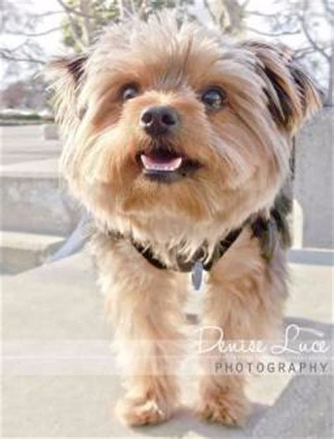 yorkshire terrier  toy breed rescue forum wow blog