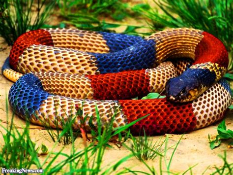 snake colors franch flag colored snake pictures