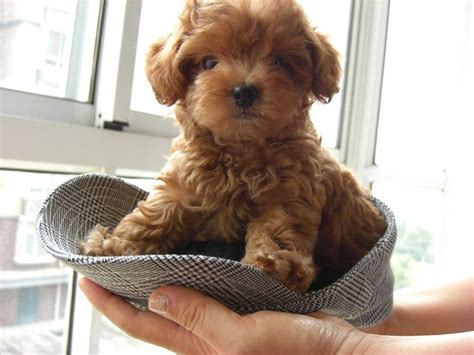 top 10 cutest dogs 23 best images about on westies west highland terrier and puppys