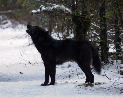 black wolf melanistic animal pictorial