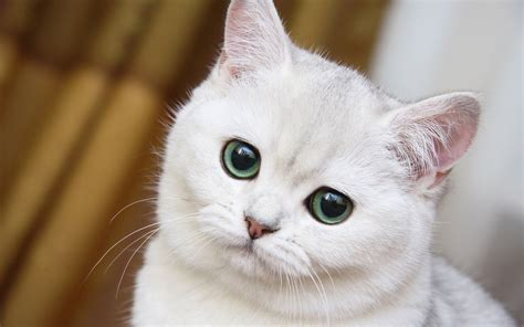the white cat and accesoriosy bellezas white cats with ice blue eyes