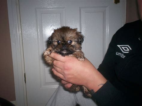 shih tzu pekingese puppies for sale shih tzu cross pekingese puppies for sale bridlington east of