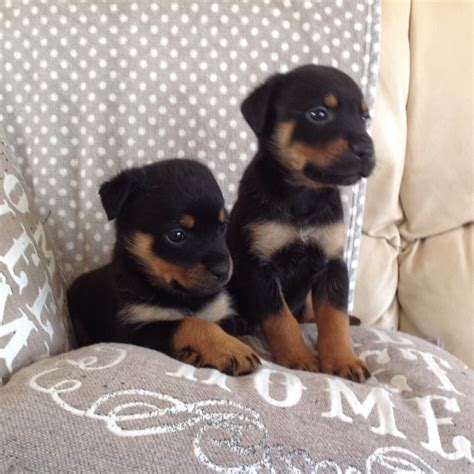 rottweiler puppies in chicago rottweiler puppies for sale chicago il 198909