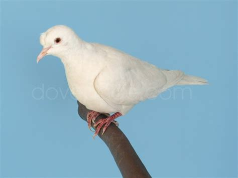 what color is dove dovepage ringneck dove colors