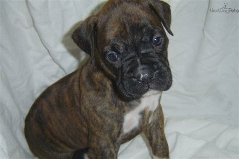 boxer puppies for sale mn boxer puppy for sale near minneapolis st paul minnesota 67611e30 5df1