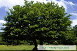 large trees buy hornbeam trees carpinus betulus large standards