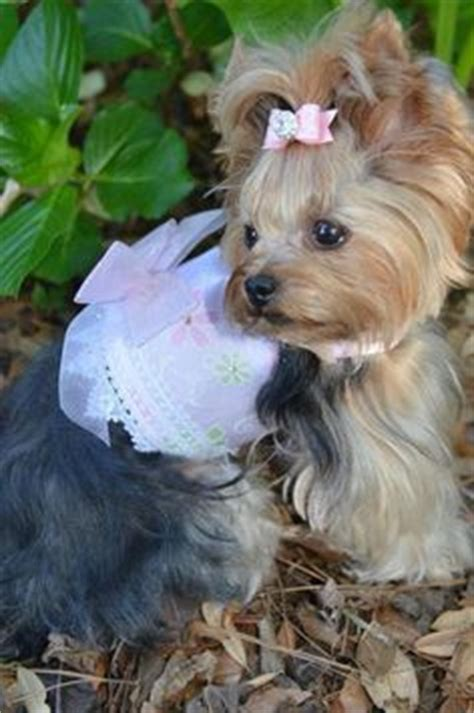 yorkie top knot small dogs that stay small for sale smallest and puppys