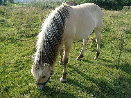 fjord horse facts pin norwegian fjord horse facts on pinterest