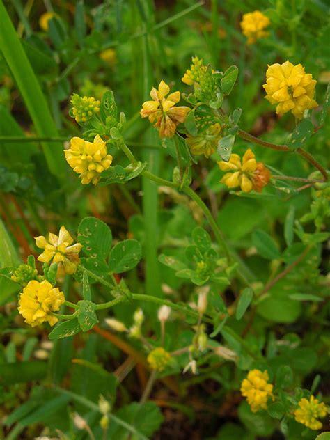 nomi fiori gialli fiori gialli nomi fiori gialli nomi idea creativa della