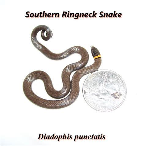 Garden Snake Oklahoma Southern Ringneck Snake A Oklahoma Reptile