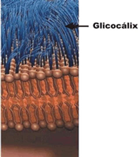 bilayer haircut phospholipid structure
