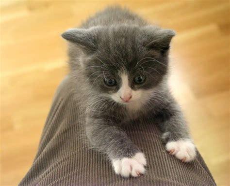georgus fluffy grey and white kitten girl   Aberdeen