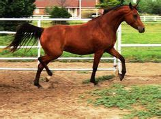 Oklahoma Sweepstakes - 1000 images about arabian horse sales on pinterest