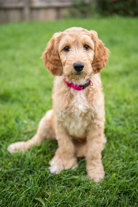 doodle puppy types doodle setter poodle and doodles