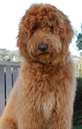 boat names after dogs i m going to name him christopher goldendoodles english