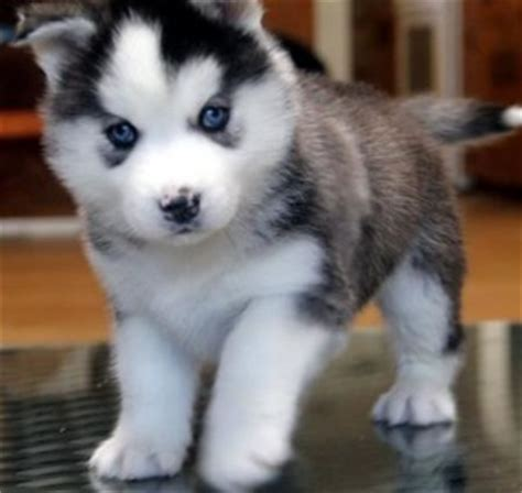 free puppies los angeles pomsky for adoption hd breeds picture