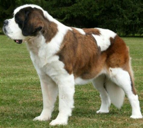 haired st bernard puppies 17 best images about bernard on mouths studios and sheds