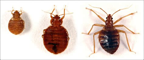 bugs that resemble bed bugs how the actual bed bugs look like jdy ramble on