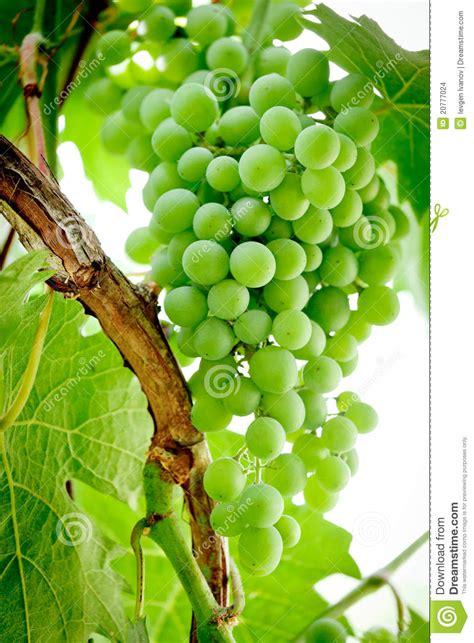 green grapes   vine stock photo image  hangs