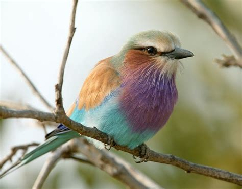 Cat Home Decor Cat Lovers by The Breathtaking Belly Dancing Lilac Breasted Roller