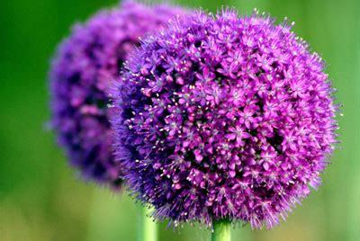 coltivazione aglio in vaso hobbistica coltivare in vaso praticit 224 ed estetica