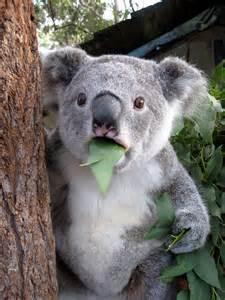 Why Do Dogs Go Blind Koala Meme Daily Picks And Flicks