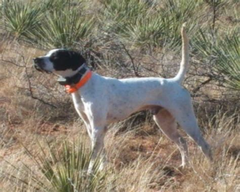 english setter finished dogs for sale finished bird dogs for sale rachael edwards