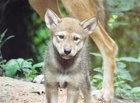 baby red wolf born  lbl local news parispinet