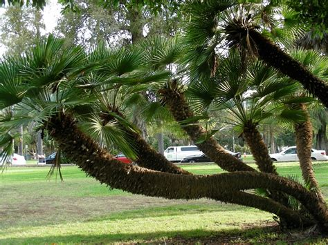 planting fan palm trees plant of the week european fan palm landscape invocation