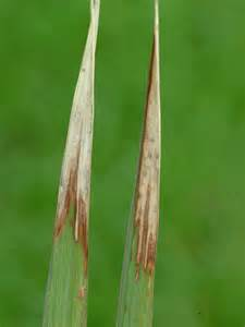 Deficiency Diseases In Plants - bacterial panicle blight louisiana rice