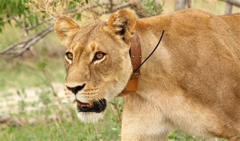 tracking collar locate locomotion and habitat utilisation among large carnivores and