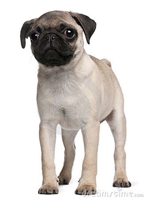 3 month pug puppy pug puppy 3 months standing stock photos image 17038723