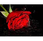Setangkai Mawar Merah Download Gambar Gratis Car Interior Design