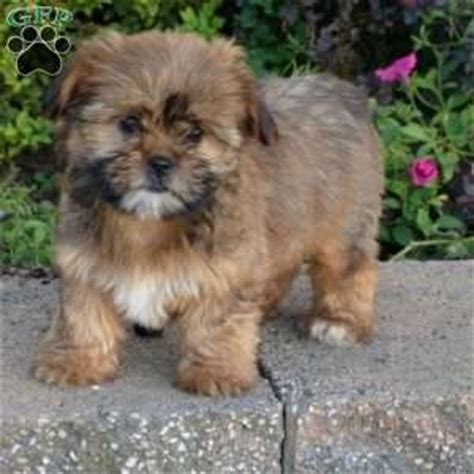 shorkie puppies for sale in pa shorkie puppies for sale in pa