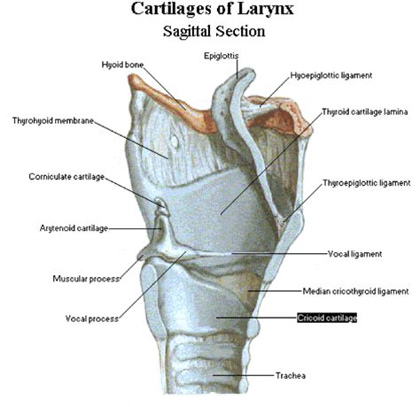 Sagittal Section Definition by Inner Larynx Speech And Hearing Sciences 3025 With