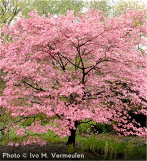 buy pink tree buy affordable pink dogwood trees at our nursery
