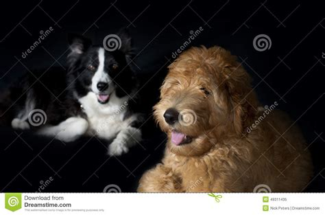 border doodle puppies for sale australia border collie and labradoodle stock photo image 49311435
