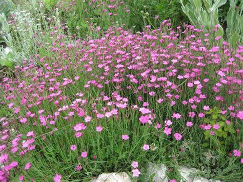 welche blumen blühen den ganzen sommer im garten heide nelke langbl 252 hende stauden die im sommer und