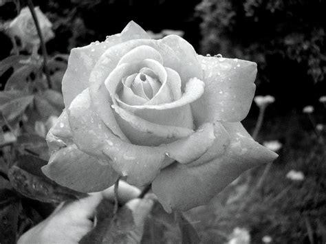 imagenes en negro y rosa fotos de rosas en blanco y negro imagui