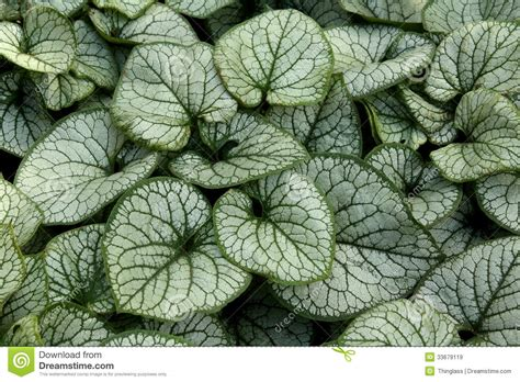 green foliage outdoor plants brunnera macrophylla plant royalty free stock images