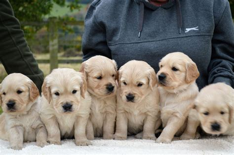 golden retriever puppies derbyshire sold stunning litter of golden retriever puppies alfreton derbyshire pets4homes