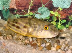Puffer Fish, Fish Guides for Brackish and Freshwater Puffer Fish