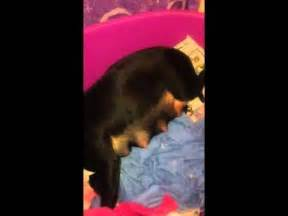 rottweiler pregnancy time rottweiler 66 days funnydog tv