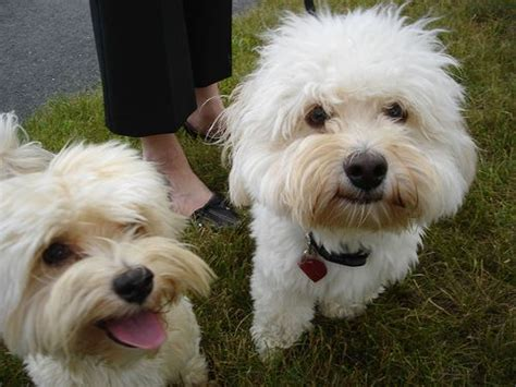 havanese dogs size 138 best havanese dogs images on