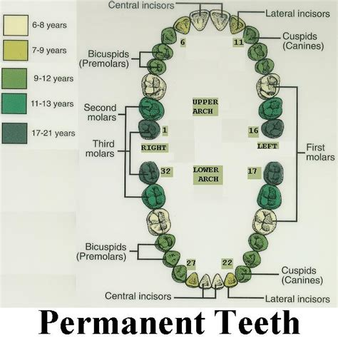 sextant of teeth introduction to dentistry terms naperville dentist j a