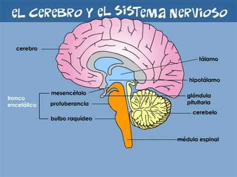 el cerebro del nio image gallery el cerebro