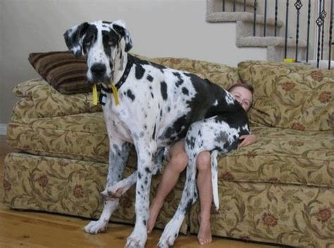 great dane couch 10 reasons great danes have the best personalities