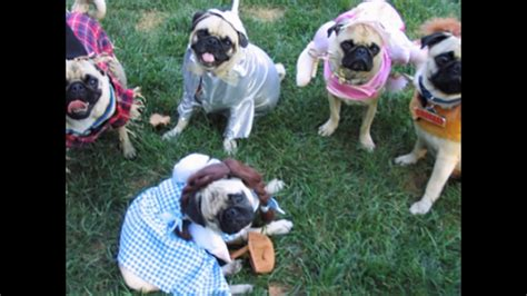 pugs in pugs in costumes pug