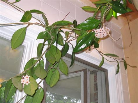 flowering house plants identification identification of blooming vine